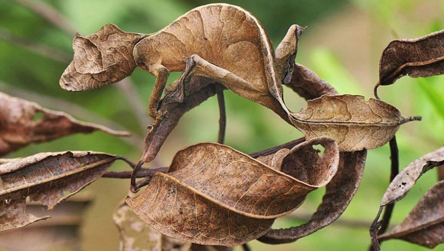 Leaf Tailed Gecko Camouflage