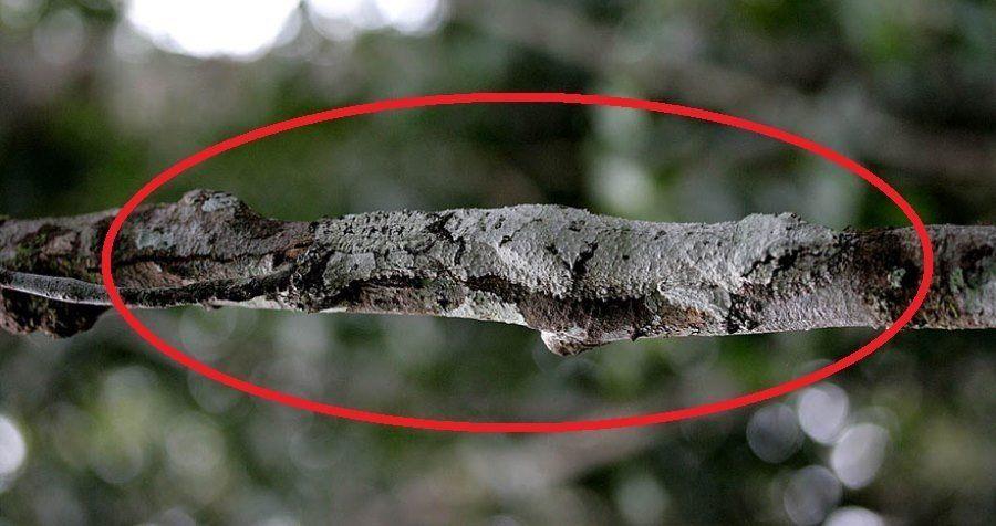 Uroplatus Geckos Circled