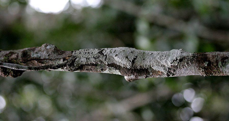 Uroplatus Geckos