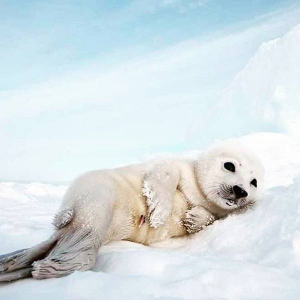 White Sea Lion Pup