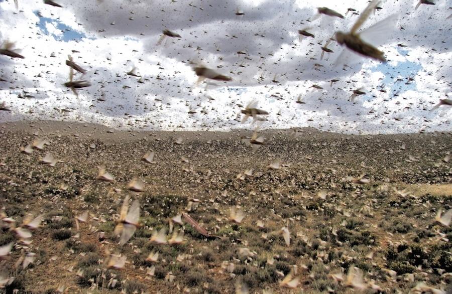 Argentina Locust