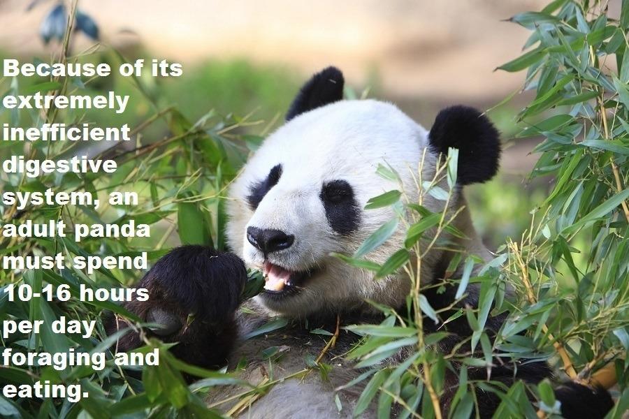 Panda Foraging And Eating