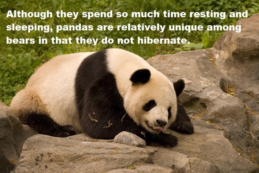 Panda Hibernation