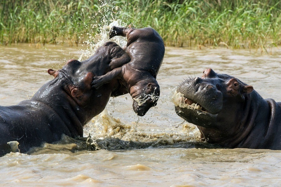Hippo Tossing Baby Hippo