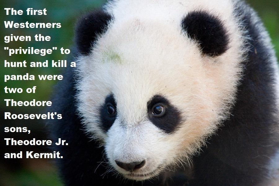 Roosevelt's Panda Hunt