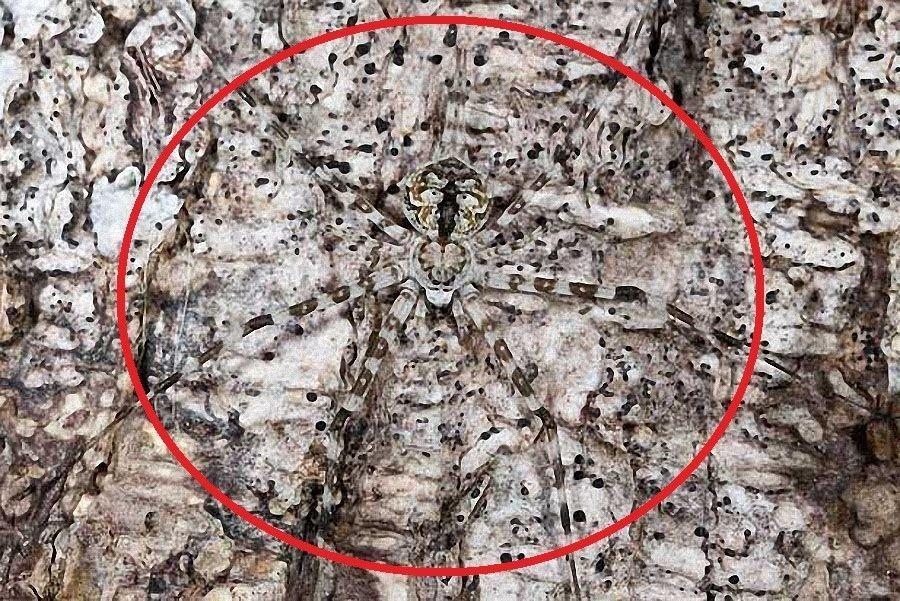 Long Spinnered Bark Spider Circled
