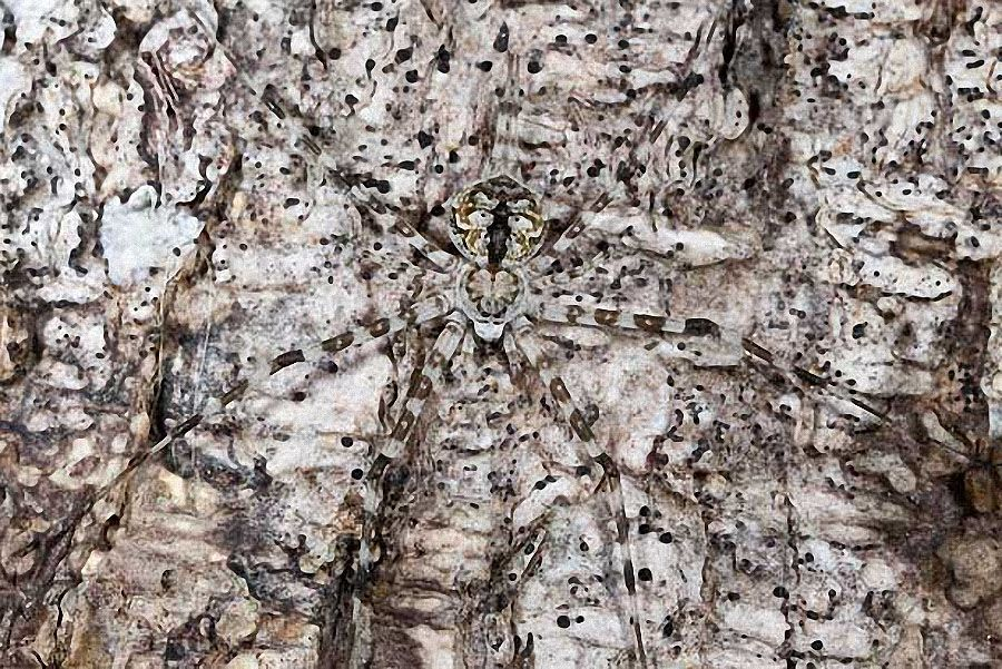 Long Spinnered Bark Spider