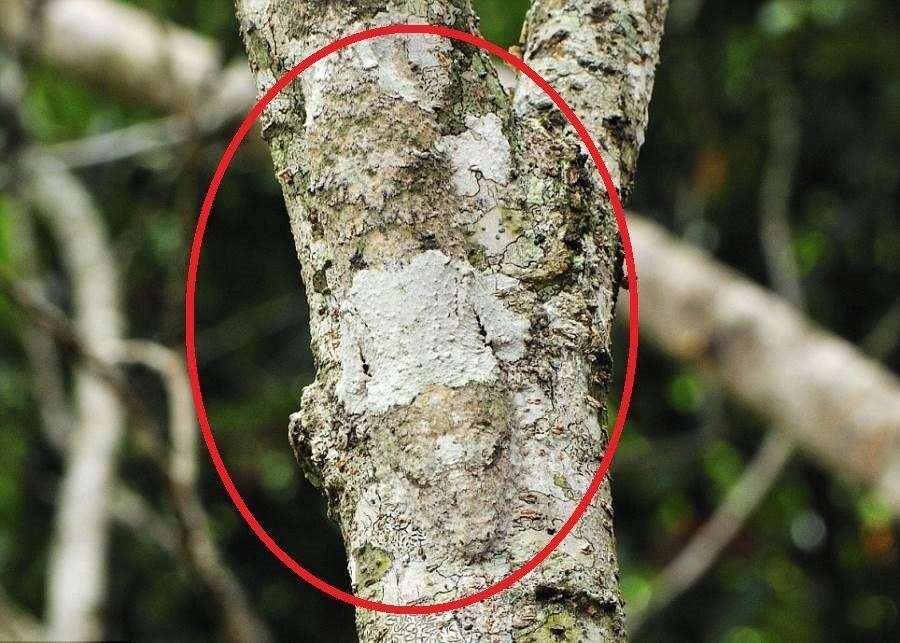 Mossy Leaf Tailed Gecko Circled