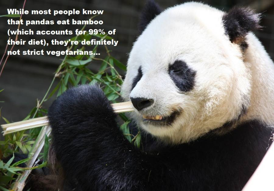 What do pandas eat? And other giant panda facts