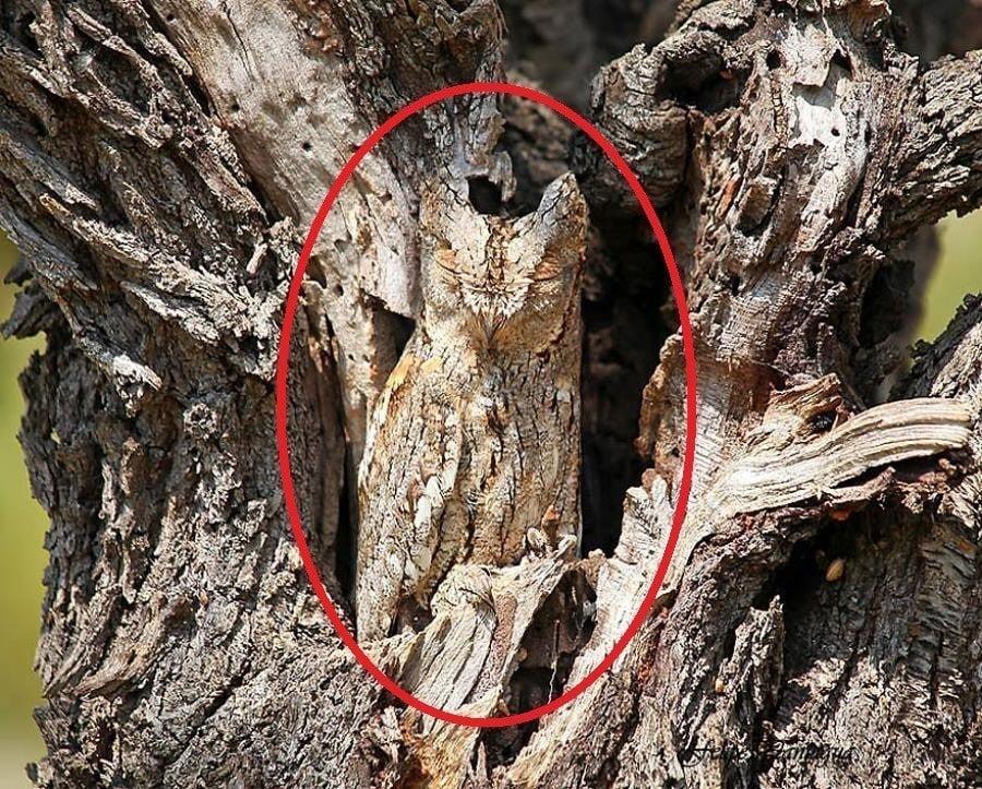 Owl Camouflage Circled