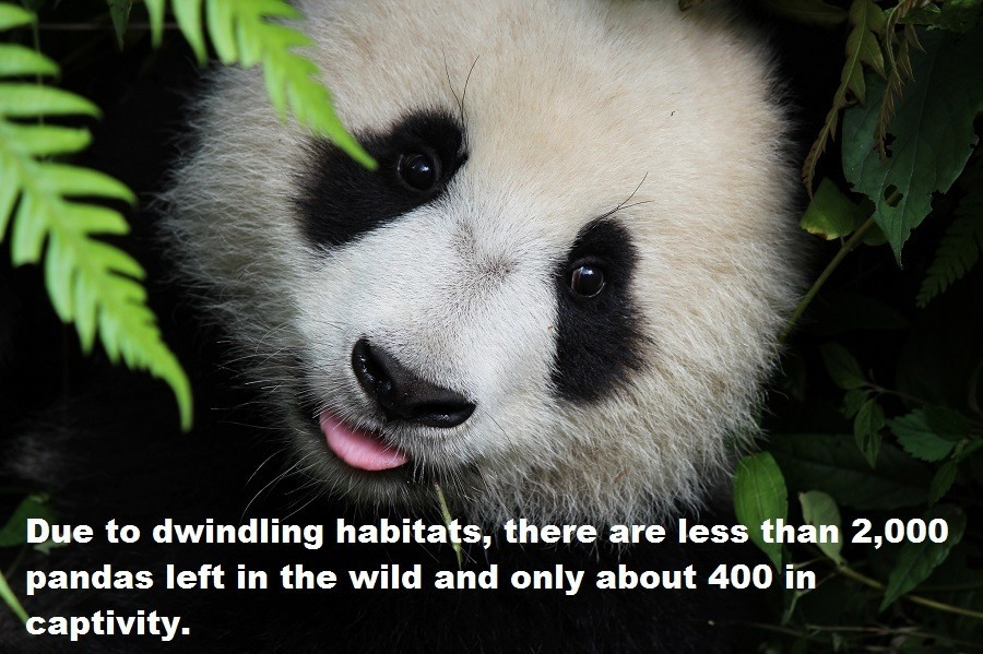 Panda Endangered