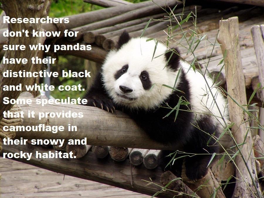 Panda Facts Coat