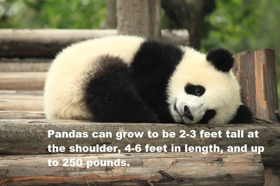 Panda Facts Size