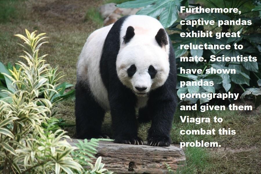 Panda Mating Assistance
