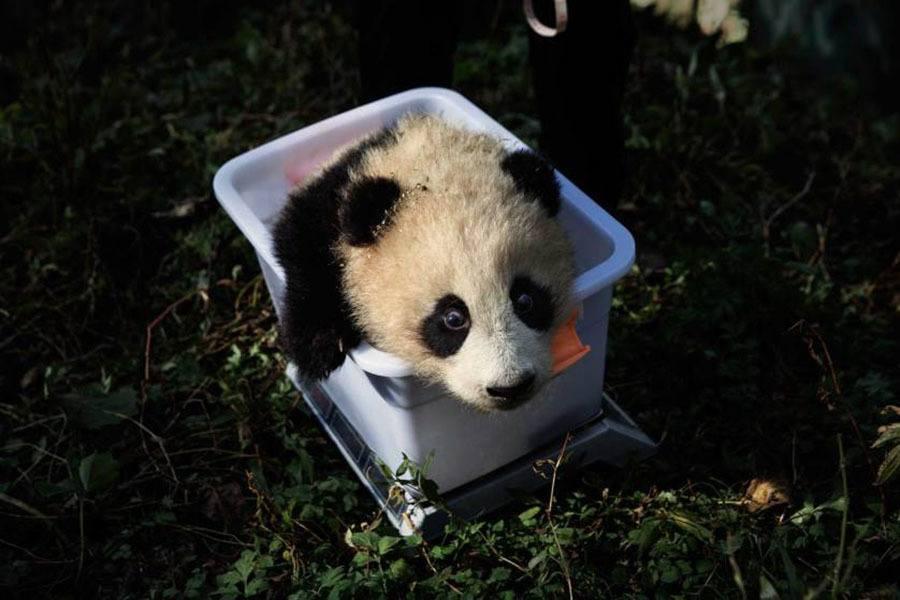 Panda Sichuan Province