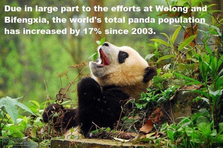 Panda Total Population Increase