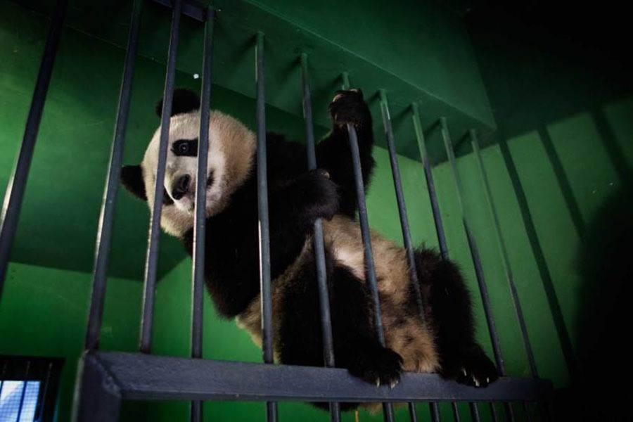 Pandas Climbing