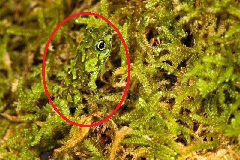 Platypelis Grandis Frog Circled
