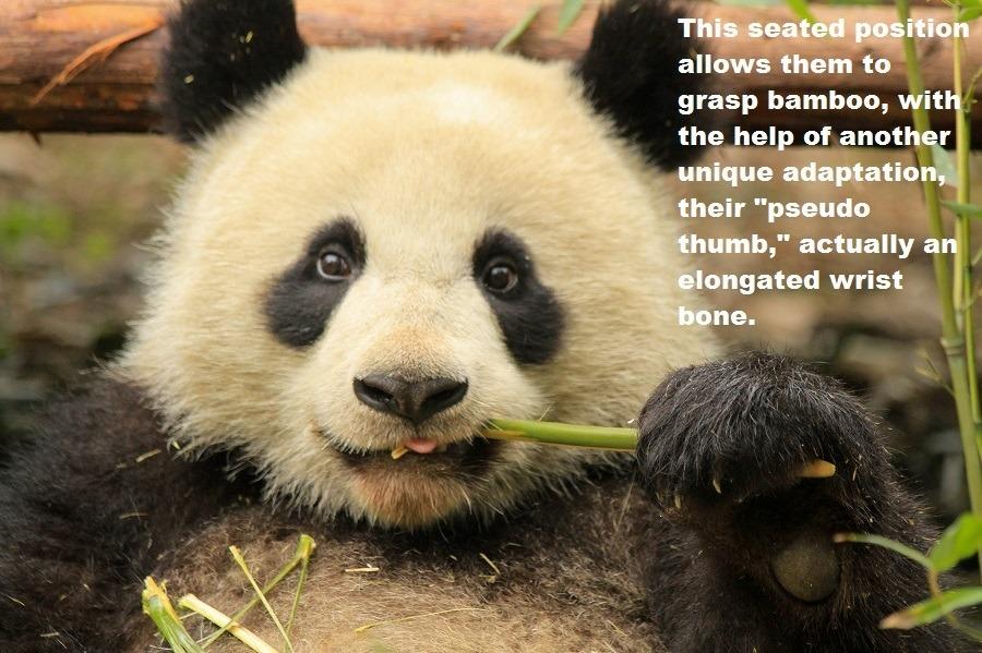 Pandas' Pseudo Thumb