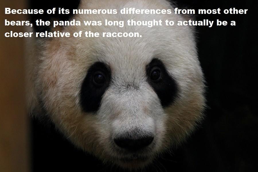 Pandas And Raccoons