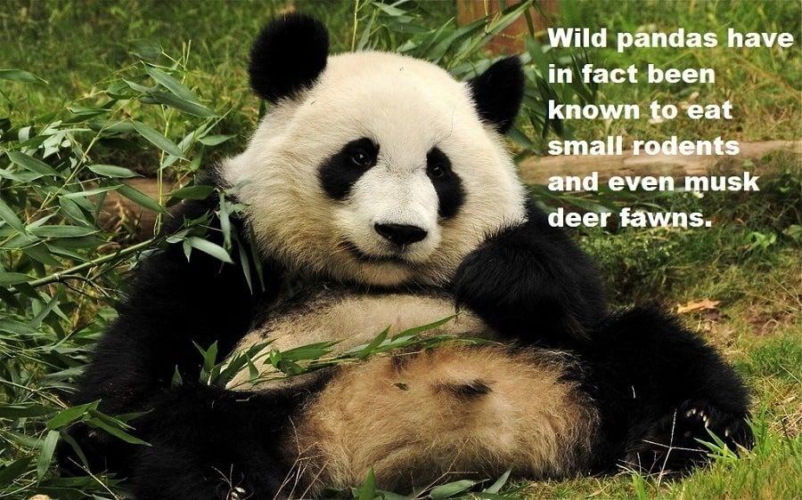 What Pandas Eat