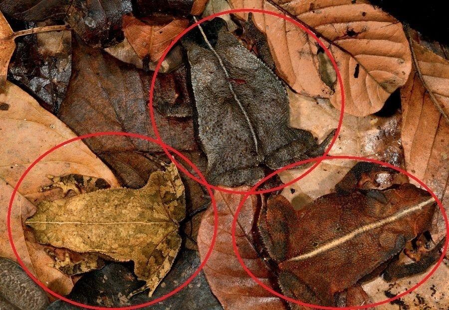 Three Leaf Litter Toads Circled