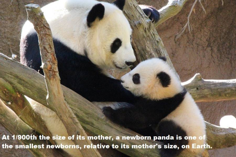 Panda Facts Small Newborns