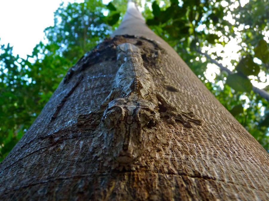 Uroplatus Gecko Camouflage