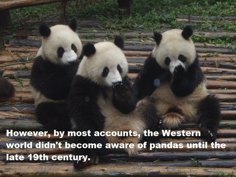 Western Discovery Of Pandas