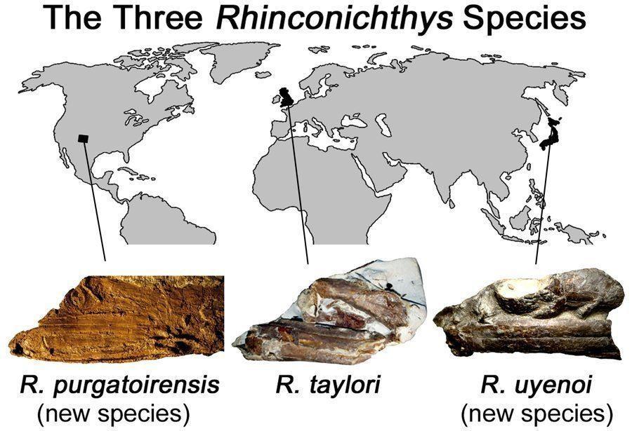 Discovery Of Rhinconichthys
