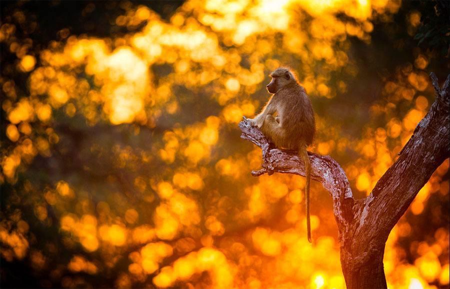 Baboon Sunset