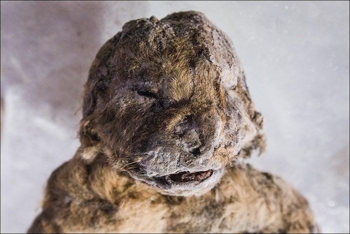 Cave Lion Cub