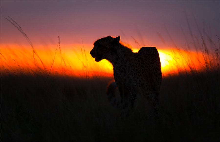 Cheetah Backlit