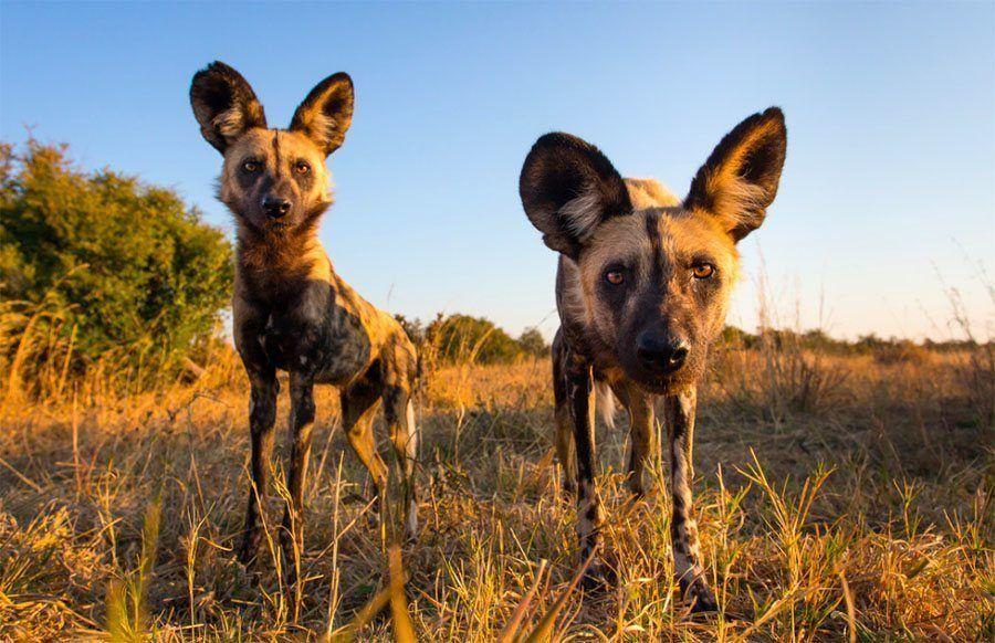 Dog Duo