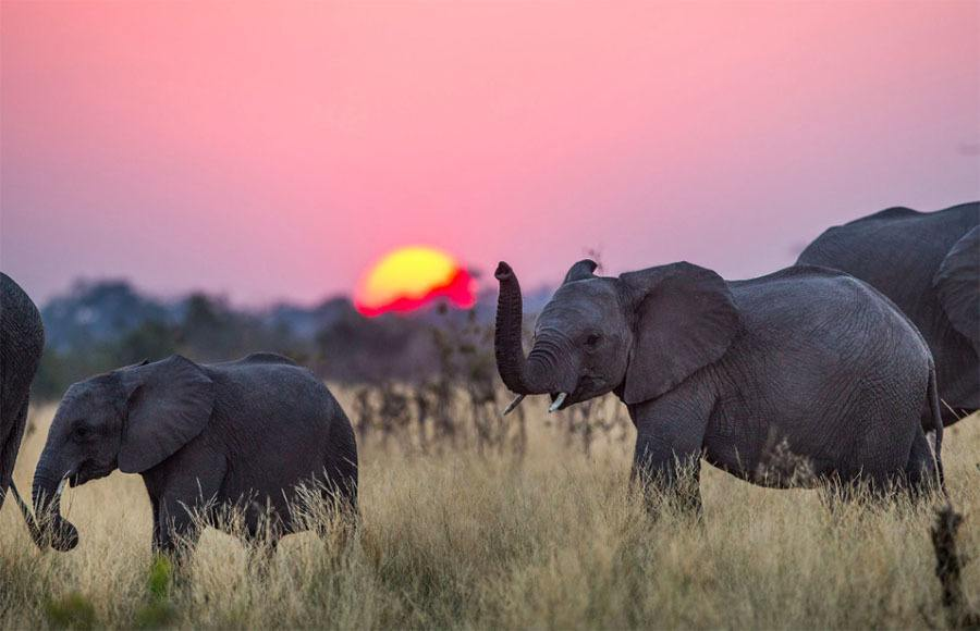 Elephants Dusk