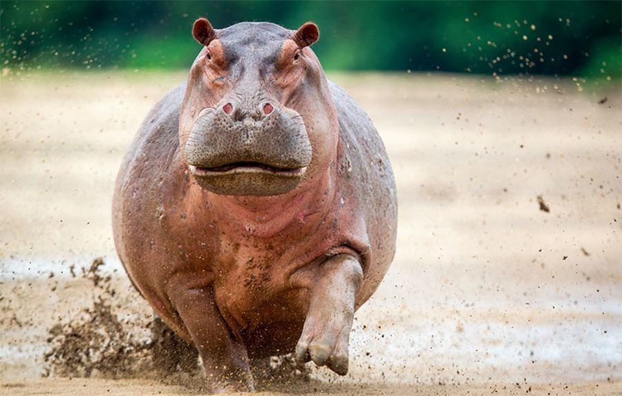 Hippo Charge