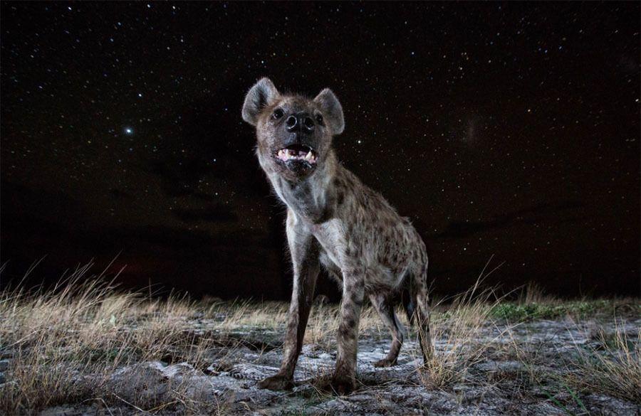 Hyena Night