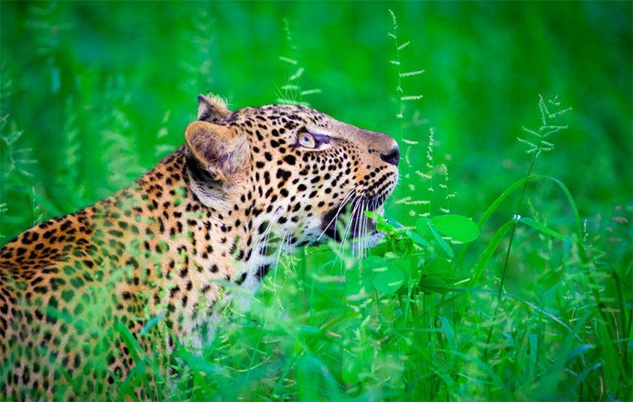 Leopard Grass