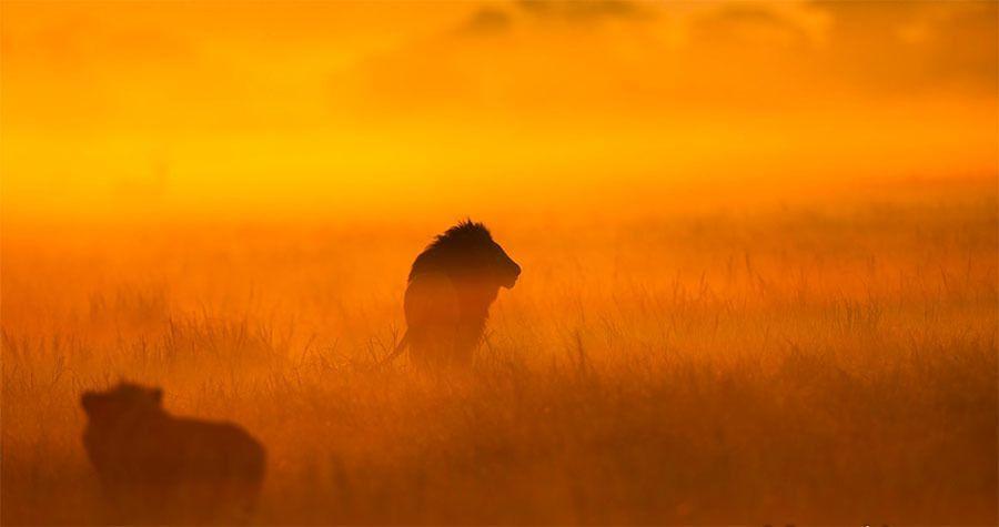 Lion Haze