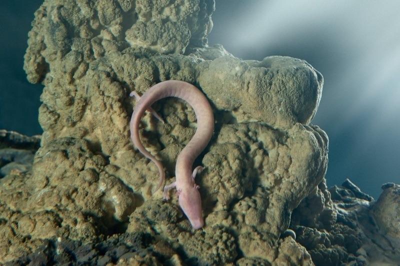 Olm Salamander
