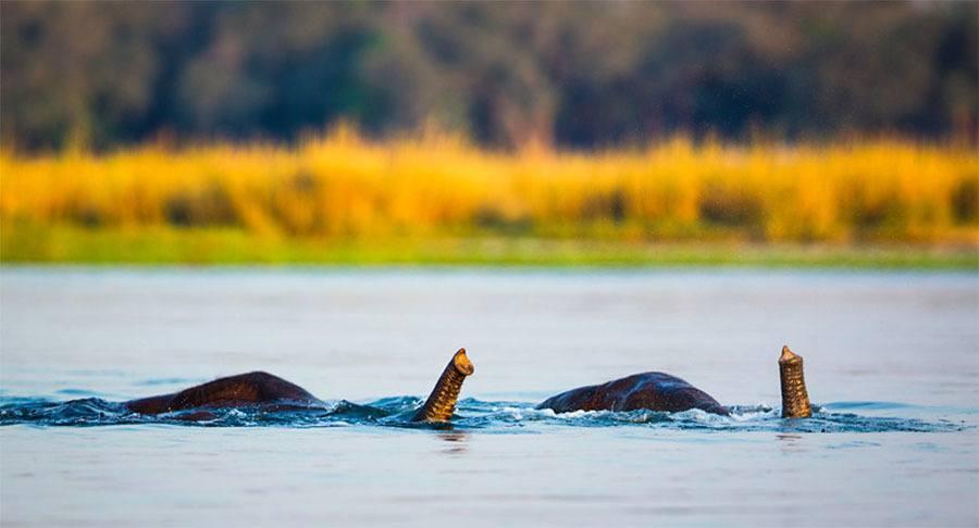 Snorkeling Elephants