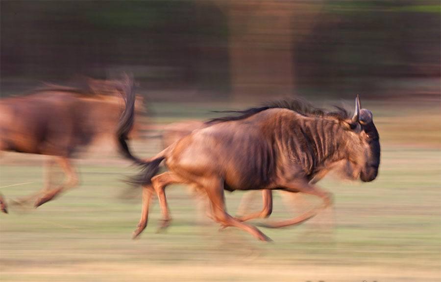 Wildebeest Running