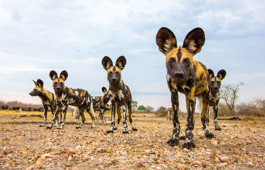 Wildlife Photography Wild Dogs