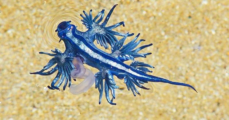 Blue Dragon Glaucus Atlanticus Photo