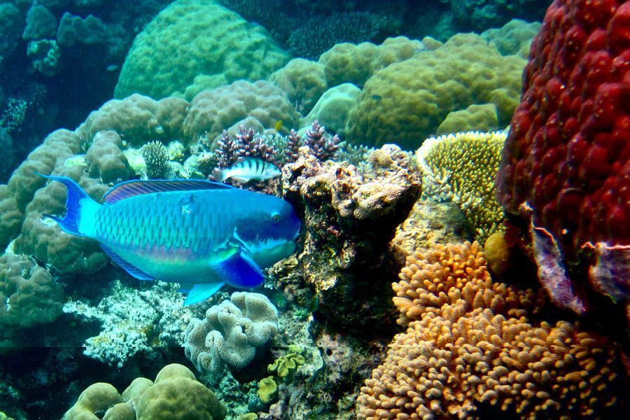 Cerulean Fish