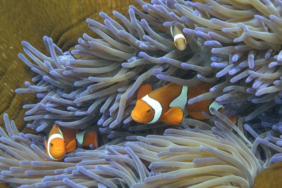 great barrier reef bleaching clown fish