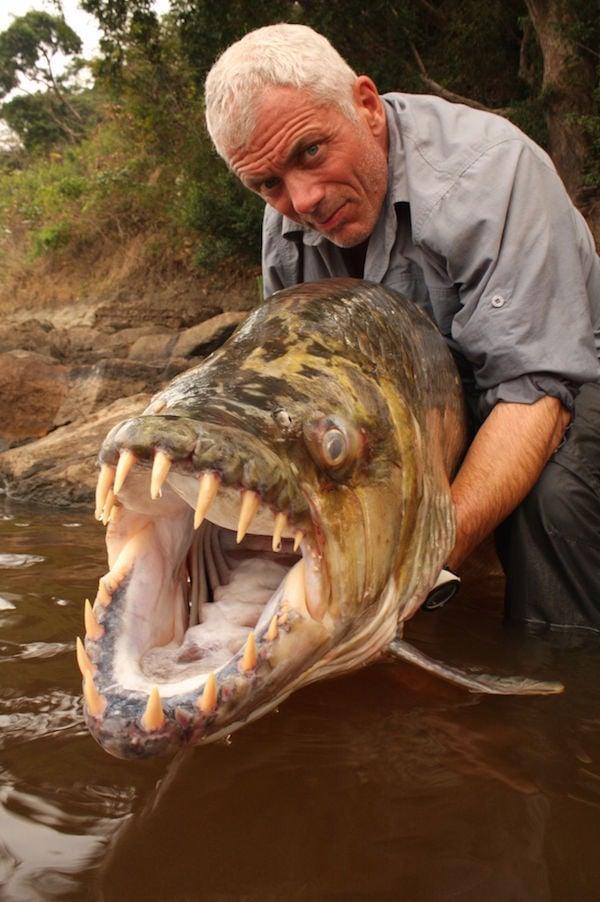 Congo Tiger Fish