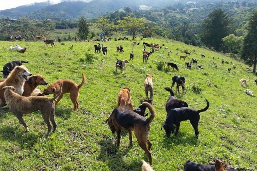 Costa Rica Dogs On Hill