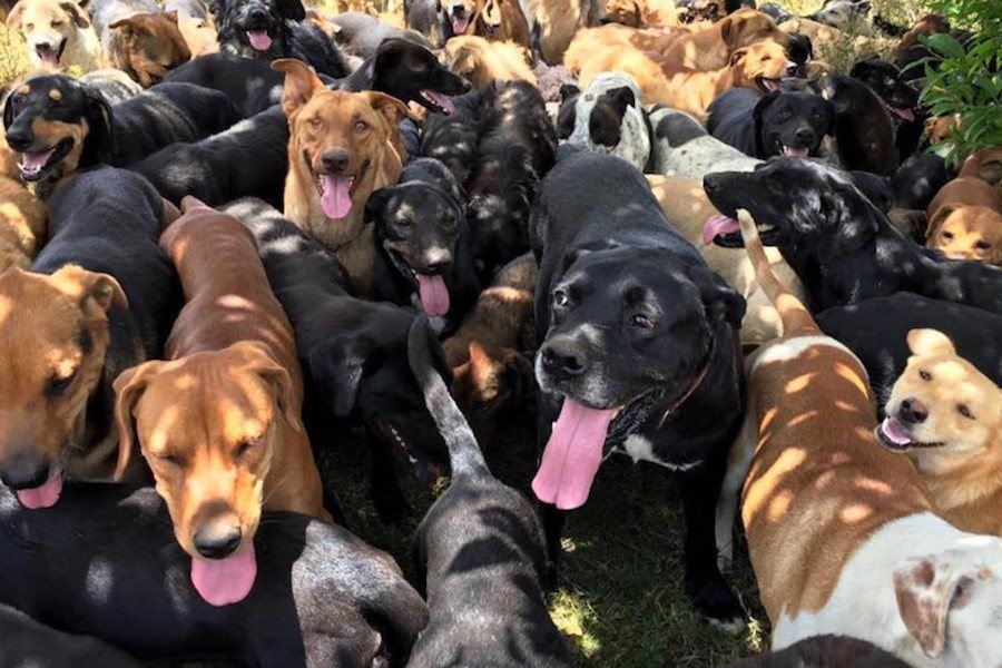 Costa Rica Dogs