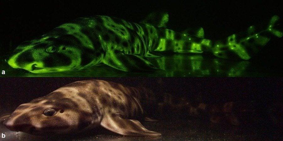 Shark Glow